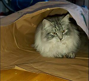 katt leker med sopsäck