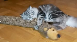 katt leker med mjukisdjur