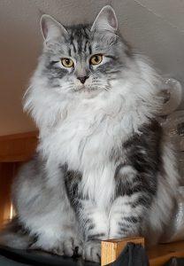 Sibiriska katten Oskar med pälskrage