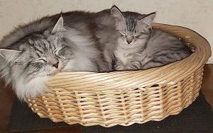 Kattunge sover tillsammans med sin storebror