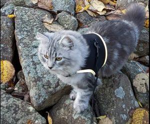 Katten Oskar med kattväst