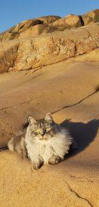 Grå långhårig katt på klippor