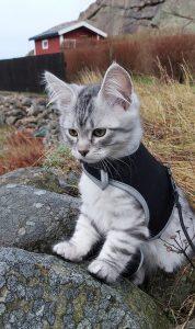 grå kattunge utomhus
